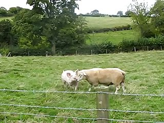 34.pig Fucking Sheep